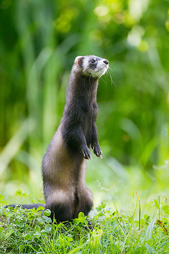 MAM 15 AC0003 01 © Kimball Stock Ferret Standing In Forest