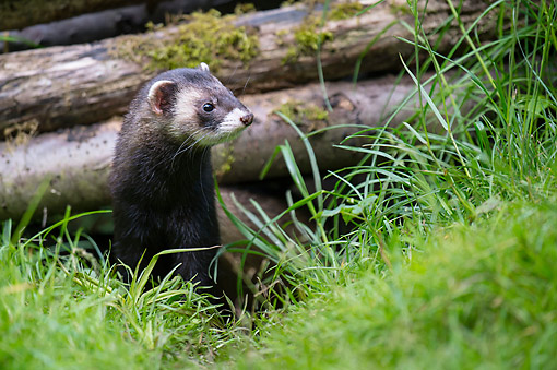 MAM 15 AC0004 01 © Kimball Stock Ferret Standing In Forest