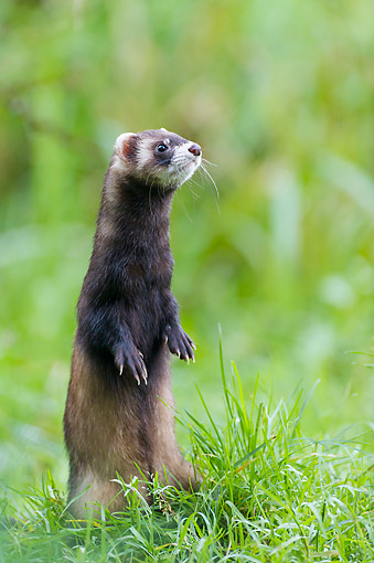 MAM 15 AC0009 01 © Kimball Stock Ferret Standing In Grass