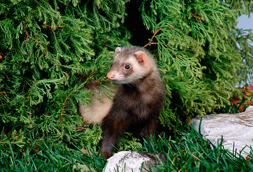 MAM 15 FA0002 01 © Kimball Stock Ferret Standing On Grass By Rock And Evergreen