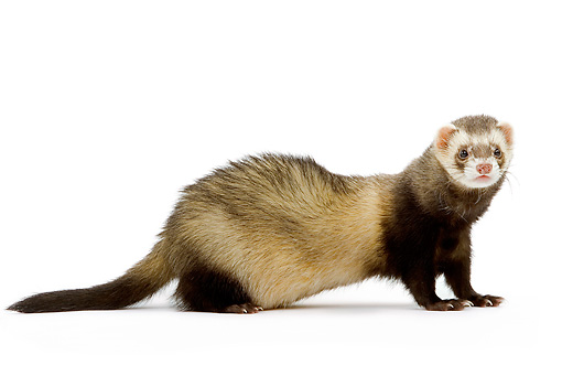 MAM 15 JE0002 01 © Kimball Stock Ferret Standing On White Seamless