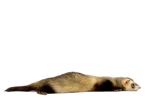 MAM 15 JE0003 01 © Kimball Stock Ferret Laying On White Seamless Profile