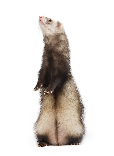 MAM 15 JE0004 01 © Kimball Stock Ferret Standing On White Seamless