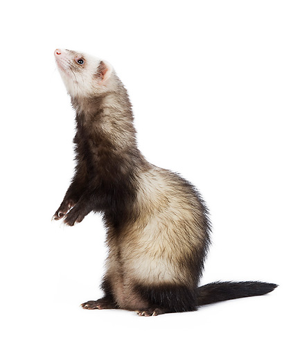 MAM 15 JE0005 01 © Kimball Stock Ferret Standing On White Seamless Profile