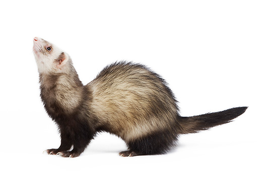 MAM 15 JE0006 01 © Kimball Stock Ferret Standing On White Seamless Profile