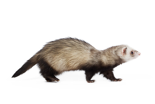 MAM 15 JE0007 01 © Kimball Stock Ferret Walking On White Seamless Profile