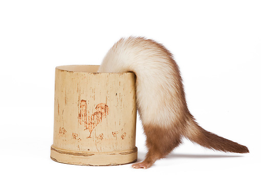 MAM 15 JE0008 01 © Kimball Stock Ferret Climbing Inside Pot On White Seamless