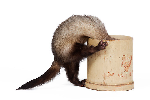 MAM 15 JE0009 01 © Kimball Stock Ferret Climbing Inside Pot On White Seamless