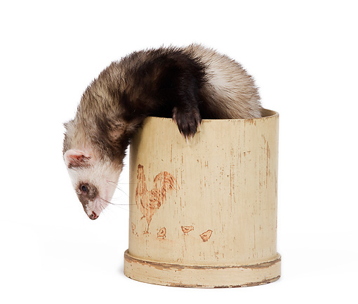MAM 15 JE0010 01 © Kimball Stock Ferret Climbing Out Of Pot On White Seamless