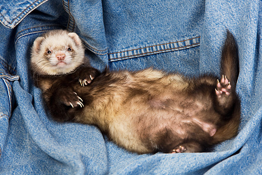 MAM 15 JE0011 01 © Kimball Stock Ferret Laying On Back On Denim Jacket