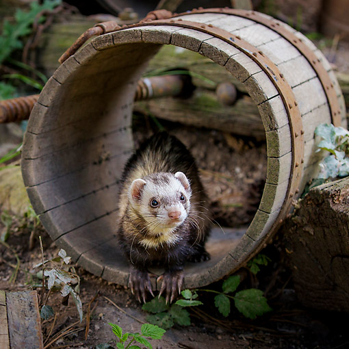 MAM 15 KH0103 01 © Kimball Stock Ferret Sitting In Barrel In France