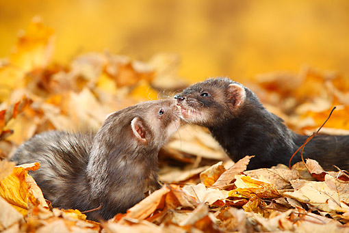 MAM 15 PE0002 01 © Kimball Stock Close-Up Of Two Ferrets Kissing In Autumn Leaves