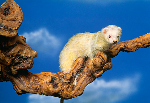 MAM 15 RK0001 02 © Kimball Stock White Ferret On Branch Blue Sky Background