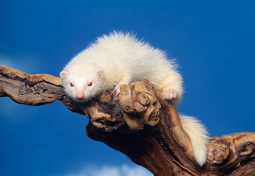 MAM 15 RK0001 15 © Kimball Stock White Ferret On Branch Blue Sky Background