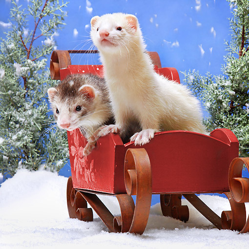 MAM 15 XA0002 01 © Kimball Stock Ferrets Sitting In Sleigh In Snow