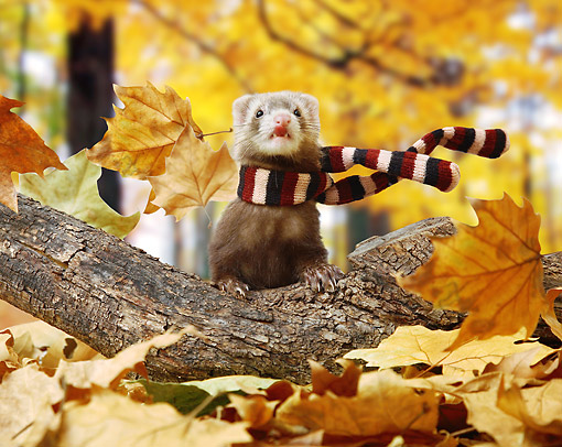 MAM 15 XA0003 01 © Kimball Stock Ferret Wearing Scarf In Windy Autumn Leaves