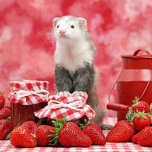 MAM 15 XA0006 01 © Kimball Stock Ferret Making Strawberry Jam