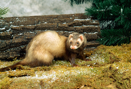 MAM 15 FA0001 01 © Kimball Stock Ferret Standing On Moss By Log And Evergreen Tree Studio