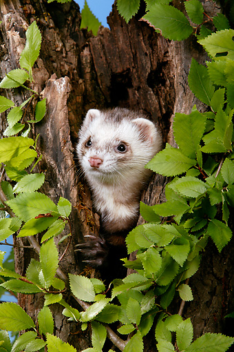 MAM 15 KH0001 01 © Kimball Stock Ferret Peeking Out Of Hollow Tree