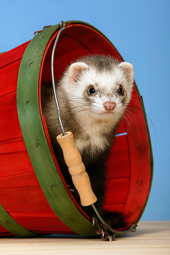 MAM 15 KH0002 01 © Kimball Stock Ferret Peeking Out Of Red Bucket