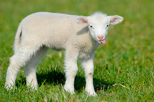 MAM 16 AC0007 01 © Kimball Stock Merino Lamb Standing On Grass With Tongue Out