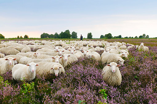 MAM 16 AC0015 01 © Kimball Stock Shepherd Herding Flock Of Sheep Through Lavender Landscape In Lower Saxony, Germany