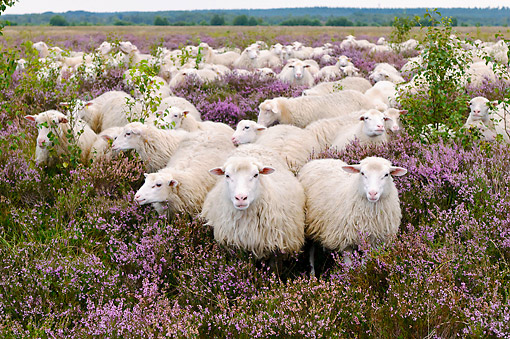 MAM 16 AC0016 01 © Kimball Stock Flock Of Sheep Walking Through Lavender Landscape In Lower Saxony, Germany
