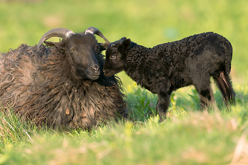 MAM 16 AC0019 01 © Kimball Stock Black Domestic Sheep Adult Sitting With Young, Germany