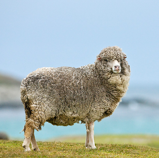 MAM 16 KH0002 01 © Kimball Stock Corriedale Sheep Standing On Grass By Sea Falklands