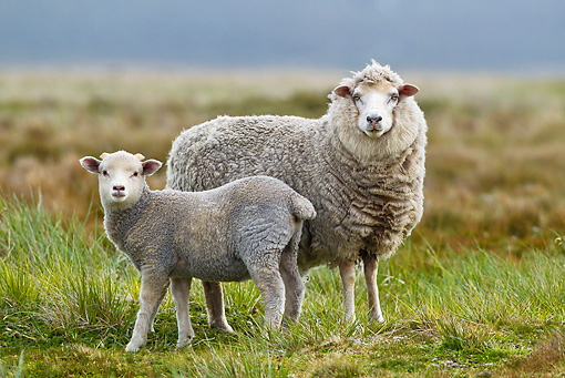 MAM 16 KH0005 01 © Kimball Stock Merino-Polwarth Crossed Sheep And Lamb Standing In Meadow Falklands
