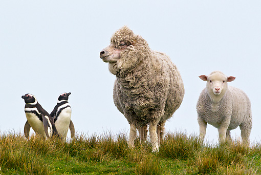 MAM 16 KH0014 01 © Kimball Stock Merino-Polwarth Crossed Sheep And Lamb Standing By Two Magellanic Penguins Falklands