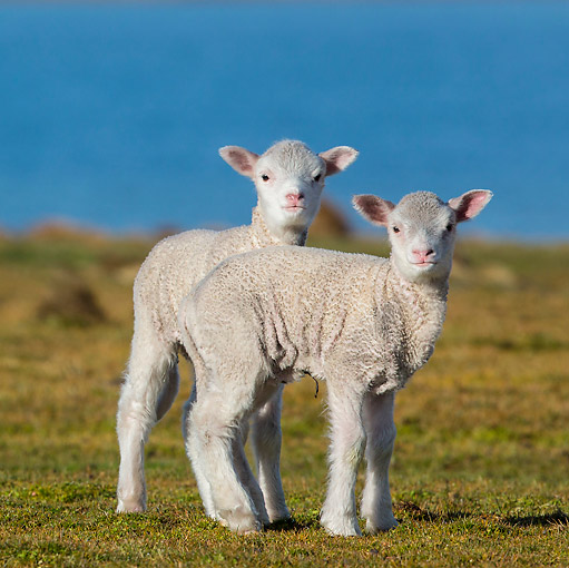 MAM 16 KH0024 01 © Kimball Stock Two Merino-Polwarth Crossed Lambs Standing On Moor By Sea Falkland Islands
