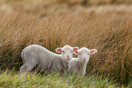 MAM 16 KH0025 01 © Kimball Stock Two Merino-Polwarth Crossed Lambs Standing In Tall Grass Falkland Islands
