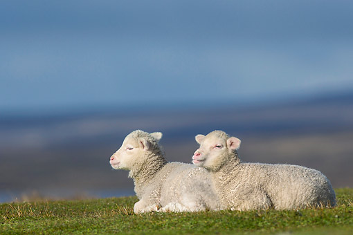 MAM 16 KH0029 01 © Kimball Stock Two Merino-Polwarth Crossed Lambs Resting In Pasture Falkland Islands