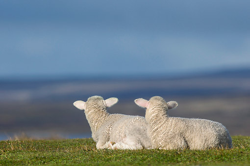 MAM 16 KH0030 01 © Kimball Stock Two Merino-Polwarth Crossed Lambs Resting In Pasture Falkland Islands