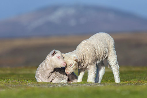 MAM 16 KH0031 01 © Kimball Stock Two Merino-Polwarth Crossed Lambs Nuzzling In Pasture Falkland Islands
