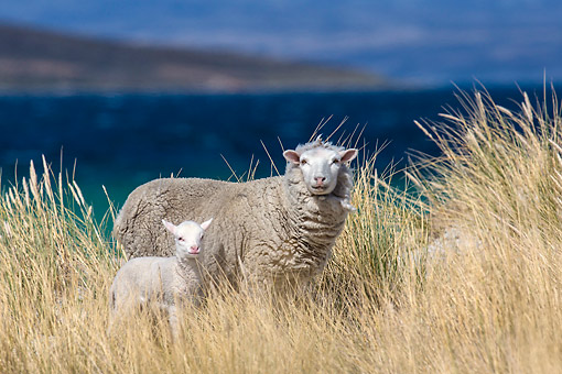 MAM 16 KH0036 01 © Kimball Stock Merino-Polwarth Crossed Sheep And Lamb Standing In Dunes By Sea Falkland Islands