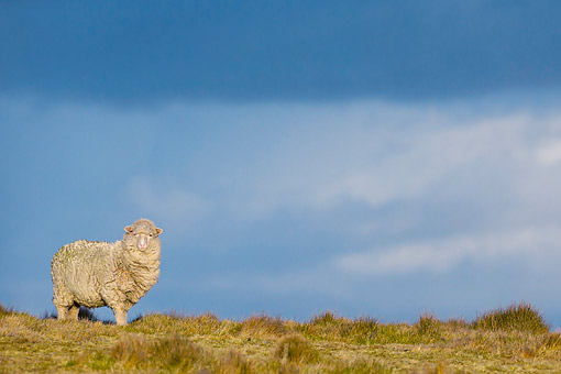 MAM 16 KH0039 01 © Kimball Stock Merino-Polwarth Crossed Sheep Standing On Moor At Sunset Falkland Islands