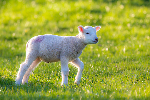 MAM 16 KH0042 01 © Kimball Stock Baby Lamb Walking Through Grass