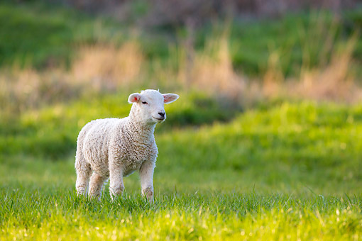 MAM 16 KH0043 01 © Kimball Stock Baby Lamb Walking Through Grass
