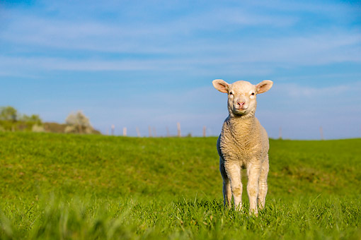 MAM 16 KH0045 01 © Kimball Stock Lamb Standing In Meadow