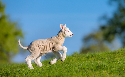 MAM 16 KH0054 01 © Kimball Stock Lamb Running In A Meadow