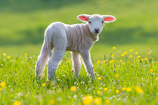 MAM 16 KH0055 01 © Kimball Stock Lamb Standing In Meadow With Grass And Flowers