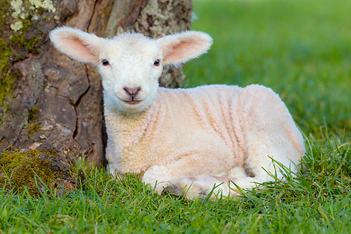 MAM 16 KH0059 01 © Kimball Stock Lamb Laying By Tree In Meadow