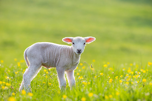 MAM 16 KH0061 01 © Kimball Stock Lamb Standing In Meadow