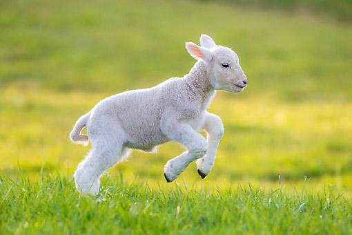 domestic sheep - Animal Stock Photos - Kimballstock