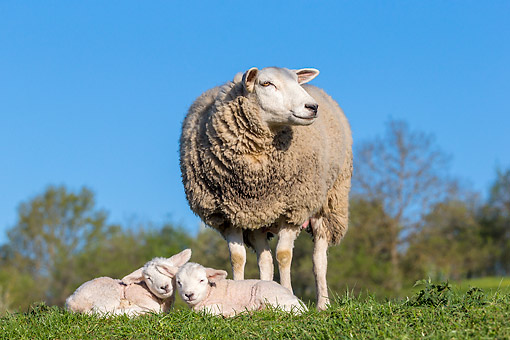 MAM 16 KH0072 01 © Kimball Stock Sheep Standing With Lambs