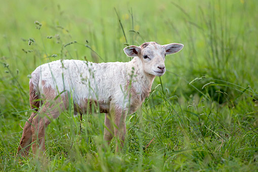 MAM 16 KH0073 01 © Kimball Stock Lamb Standing In Grass