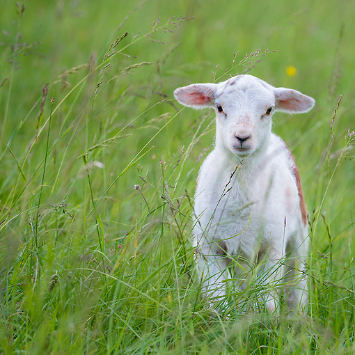 MAM 16 KH0074 01 © Kimball Stock Lamb Standing In Grass