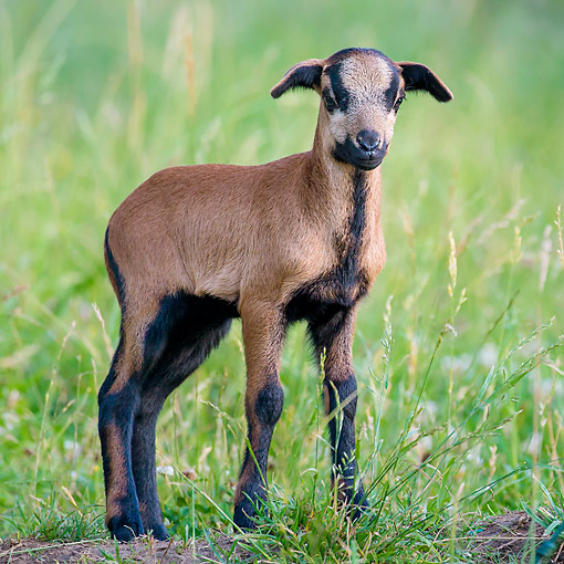 MAM 16 KH0075 01 © Kimball Stock Camaroon Sheep Lamb Standing In Grass